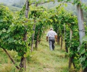 Campana vini